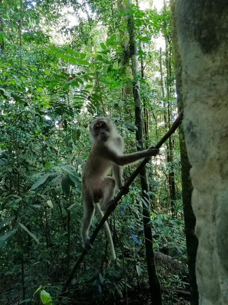 Makake Bukit Lawang, Sumatra