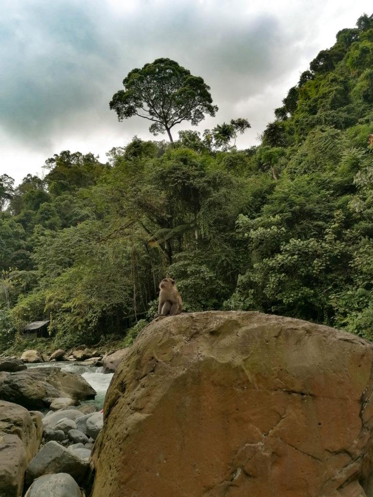 Makake am Fluss, Bukit Lawang, Sumatra